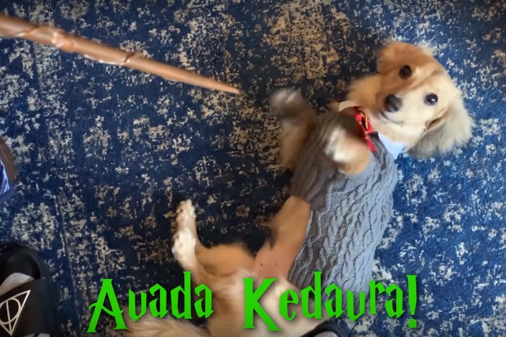 Vídeo: este cão é mais fã do Harry Potter que tu!